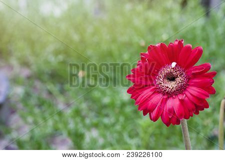 Transvaal Daisy Red Flower With Nature Green Background.