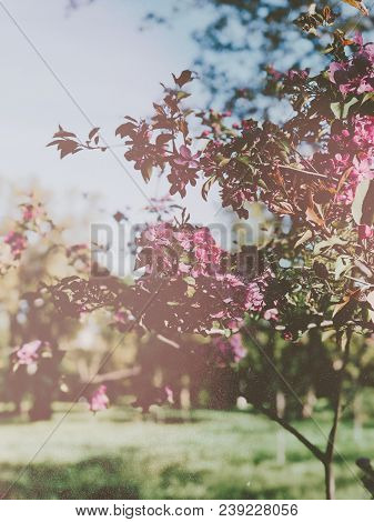 Blooming Pink Sacura Trees In Botanical Gaden In Spring, Vintage Film Filtered And Styled Photo