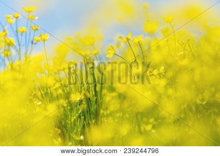 Yellow Ranunculus Acris On The Spring Sunny Lawn. Beautiful Blue Sky Holiday Background. Shallow Dep