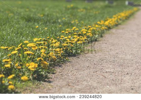 Bushes Of Flowering Dandelions Along The Path In The City Park. Beautiful Nature Flowers Holiday Bac