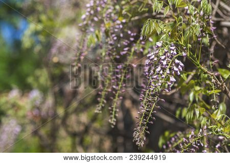 Closeup Of Pink Flower Clusters Of An Wisteria In Full Bloom In Spring