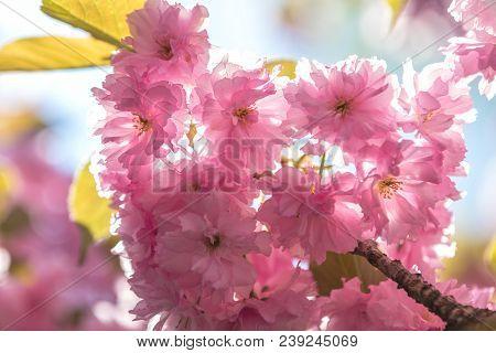 Close Up Of Pink Blossom Cherry Tree Branch, Sakura, During Spring Season