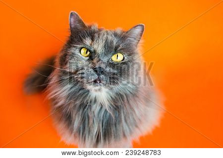 British long-haired gray cat on orange background poster