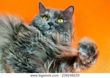 British long-haired gray cat looks up on orange background poster