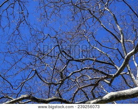 Tree Branches Create Wooden Lace Against A Clear Blue Sky On The Bright Spring Day