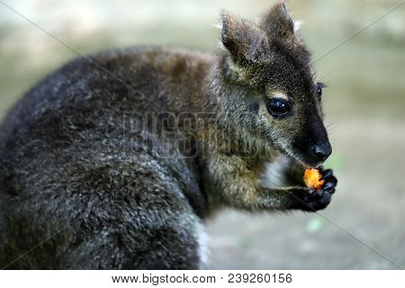 The Young Of A Kangaroo Eats Carrot. Photography Of Wildlife.