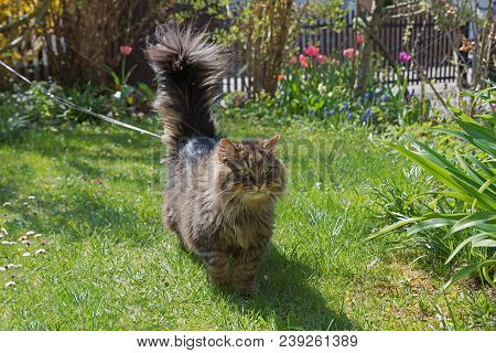 Brown Tabby Siberian Pedigree Cat With Lead, Stroll In The Front Garden On Sunny Spring Day