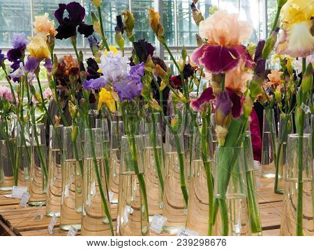 Motley Iris Flowers In Vases, Violet And Yellow Iris Flowers In A Vase, Plant