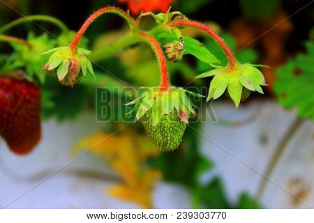 Strawberry with leaves. Green strawberry on a branch. Ripe strawberries in the garden. Fresh strawberry. Summer berries. Delicious and healthy vegetarian food. Unripe green strawberries