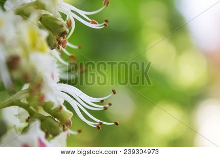 Closeup Of White Horse Chestnut Flower With Many Stamen And Anthers |park