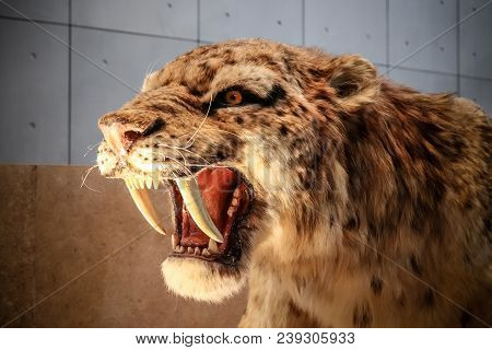 Shanghai, China - April 13 2018, Realistic life size replica model of Smilodon saber toothed tiger (or saber toothed cat) at Shanghai Natural History Museum