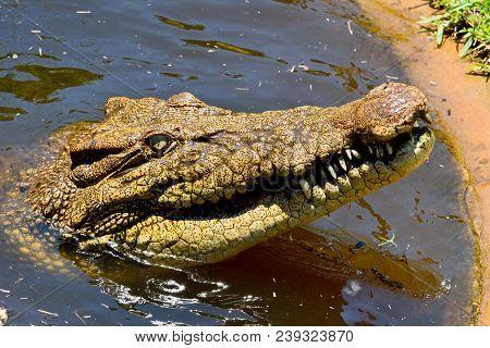 Head of saltwater crocodile (Crocodylus porosus), out of water. poster