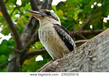 Kookaburra (genus Dacelo) On A Tree Branch In Australia.