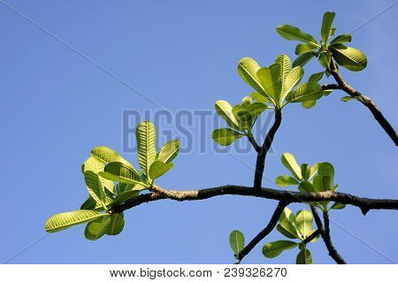 Plumeria Green Leaves On The Blue Sky