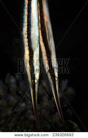 Close-up Of Two Razorfish (aeoliscus Strigatus). Moalboal, Philippines