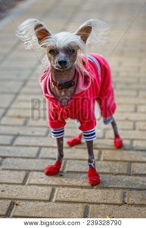 Chinese Crested Doggy On A Walk In The Park