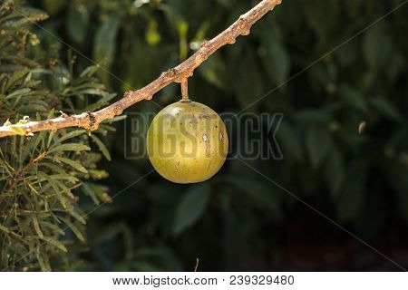 Fruit On Calabash Tree Crescentia Cujete Is Often Used To Make Bowls And Cups In South America