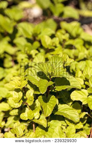 Chocolate Mint Herb Mentha X Piperita 'chocolate' Grows In An Organic Herb Garden