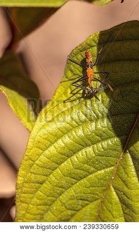 Orange Adult Milkweed Assassin Bug, Zelus Longipes Linnaeus