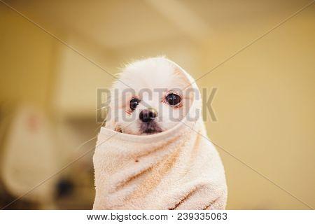 Portrait Of A Wet Dog. Pomeranian Dog In The Bathroom