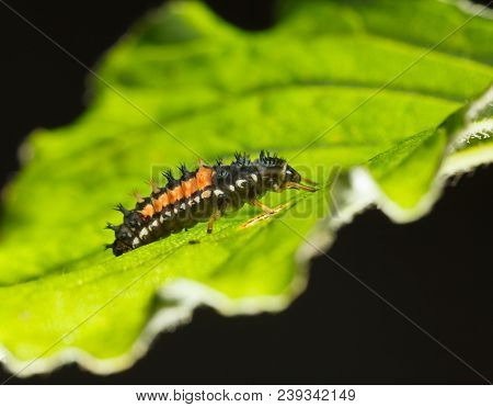 Macro Of Ladybird Larva
