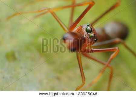The ant mimic spider