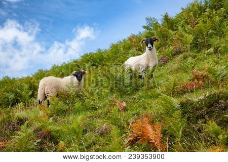 Goats grazing on a hill at Scottish Highlands