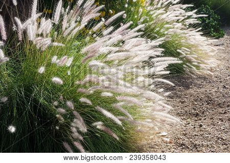 Dense And Robust Clumping Fountain Grass (pennisetum Setaceum) Growing In Arizona Residential Suburb