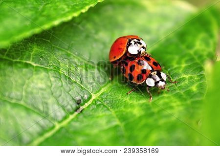 Two Ladybugs Are Mating On Green Leaf