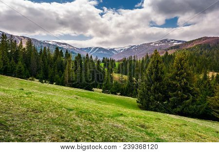 Beautiful Landscape With Spruce Forest. Landscape Of Borzhava Mountain Ridge In Springtime. Snowy Mo