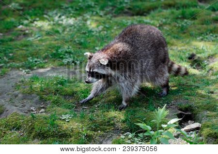 Full Body Of Lotor Common Raccoon. Photography Of Wildlife.