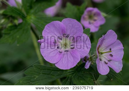 Wild Geranium In Natural Setting. Also Known As Geranium Maculatum, Spotted Geranium, Or Wood Gerani