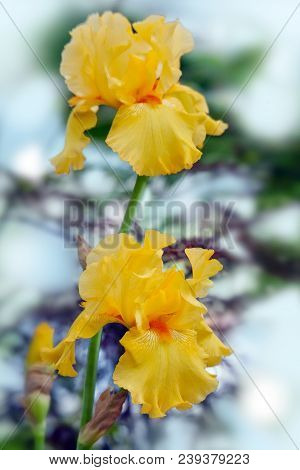 Yellow Irises - Bright Summer Flowers  On A Blurred Background