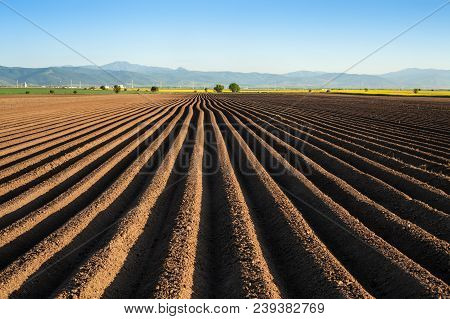 Potato Field In The Early Spring After Sowing - With Furrows Running Towards The Horizon In The Late
