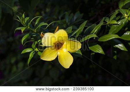 Yellow Tropical Flower On Green Bush Closeup Photo. Blooming Tropical Garden Detail. Bright Yellow T