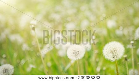 Nature Spring Background With White Fluffy Dandelion Flowers. Scenic Landscape With Growing Dandelio