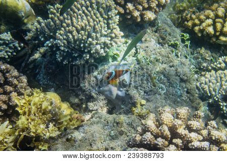 Orange Clownfish In Colorful Corals Of Tropical Seashore. Tropical Fish In Seashore. Coral Fish Unde