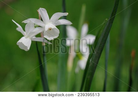 Close-up Of White Albiflorae Rouy Narcissus Flower In The Spring Garden. Showing From Top To Bottom,