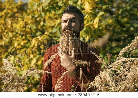 Man With Natural Spikelet Beard Sunny Fall. Hipster Or Bearded Guy In Autumn Nature Outdoor. Season