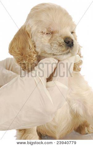 veterinary care - american cocker spaniel one week post-op from having eye removed