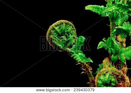 Close Up View Of Young Spiral Form Expanding Wet Fern On Black Background