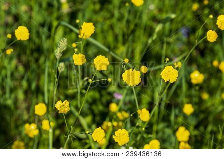 Yellow Buttercup Flowers Blooming On Mountain, Crowfoot, Ranunculus