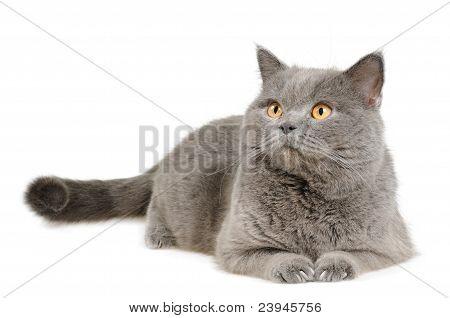 British cat lying and looking upleft