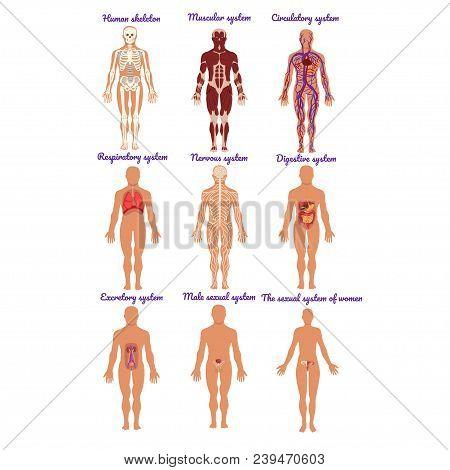 Different Human Organ System Set, Muscular, Circulatory, Respiratory, Nervous, Digestive, Excretory,