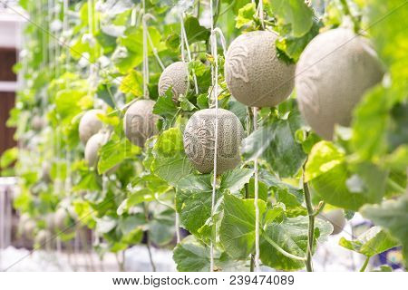 Green Melon Or Cantaloupe Melon. Organic Melon In Farm. Young Japanness Melons Or Green Melons Or Ca