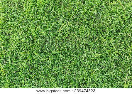 Natural Grass. Grass Texture Or Grass Background. Green Grass For Golf Course, Soccer Field Or Sport
