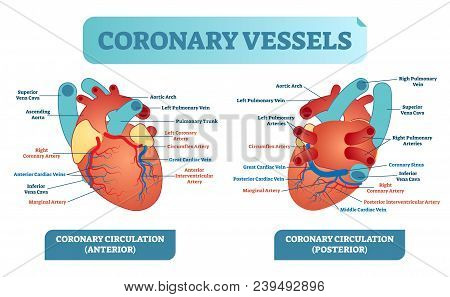 Coronary Vessels Anatomical Health Care Vector Illustration Labeled Diagram. Heart Blood Flow System