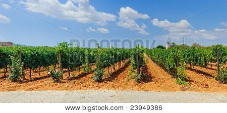 Vineyards in Mallorca. Spain. Panorama