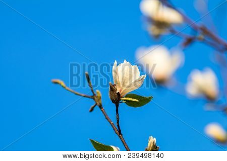Close Up Of White Blossom Magnolia Tree Branch, During Spring Season On Blue Sky Background. Sunset