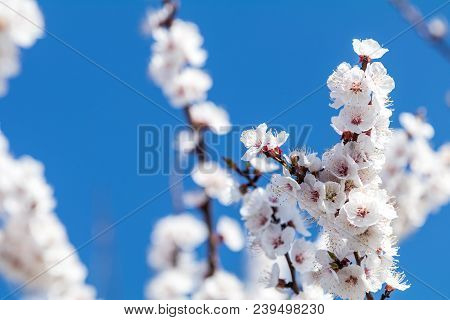 Close Up Of White Blossom Apricot Tree Branch, During Spring Season On Blue Sky Background